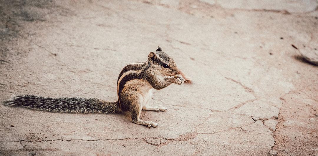 Bild eines Streifenhörnchens